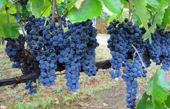 Visite et dégustation au  Stefania Pepe..Vini Bio & Dinamici Azienda Agricola 1,00€